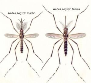 Aedes-aegypti-macho-e-fêmea